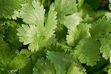 Herby coriander