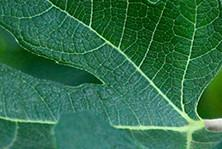 Green fig leaf accord